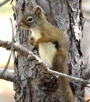 Newswise: Researchers Discover Link Between Stress and Unhealthy Microbiome in Squirrels