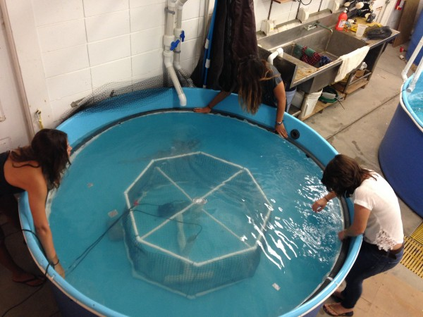 Interns at Mote Marine Laboratory in Sarasota, Fla. place a lid onto a respirometer tank housing a shark in 2014. Mote's 2014-2015 research revealed that nurse sharks have the lowest metabolic rate of any shark species measured to date.