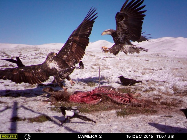 Golden eagles jostle for a chance at an easy meal.