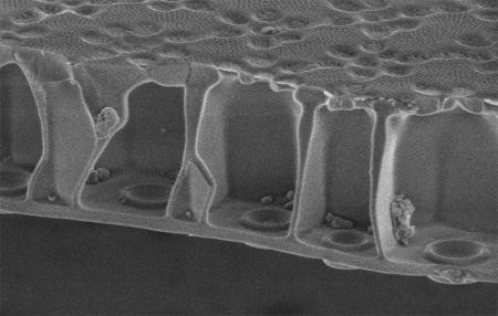 The honeycomb sandwich plate cross-section of the silica shell allows the diatom to maintain high strength while keeping weight low. Combining this architecture with a silica-organic composite as the constituent material gives the diatom shell the greatest strength-to-weight ratio of all previously reported natural biological materials.