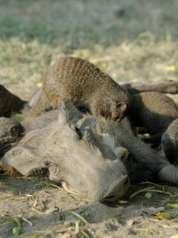 Newswise: Suffering Warthogs Seek Out Nit-Picking Mongooses for Relief