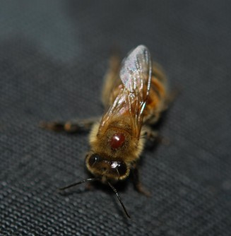 Newswise: First Multi-Year Study of Honey Bee Parasites and Disease Reveals Troubling Trends