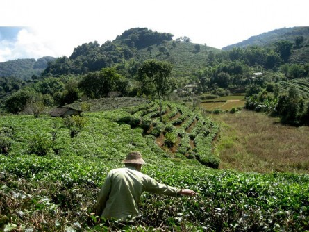 Newswise: Climate and Agriculture: Changing Monsoon Patterns, More Rainfall Contribute to Lower Tea Yield in Chinese Provinces