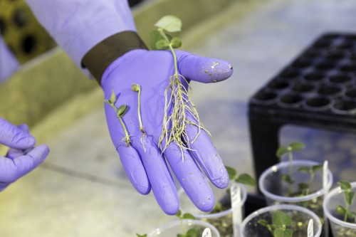 Newswise: Protecting Soybean Roots