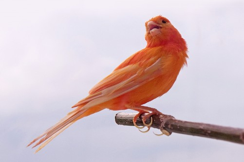 Newswise: How Did Cardinals Get Those Bright Red Feathers?