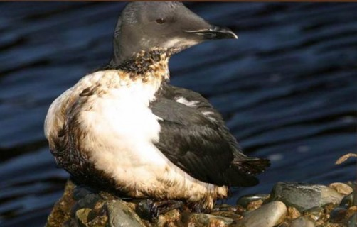 Newswise: Small Offshore Oil Spills Put Seabirds at Risk: Industry Self-Monitoring Failing