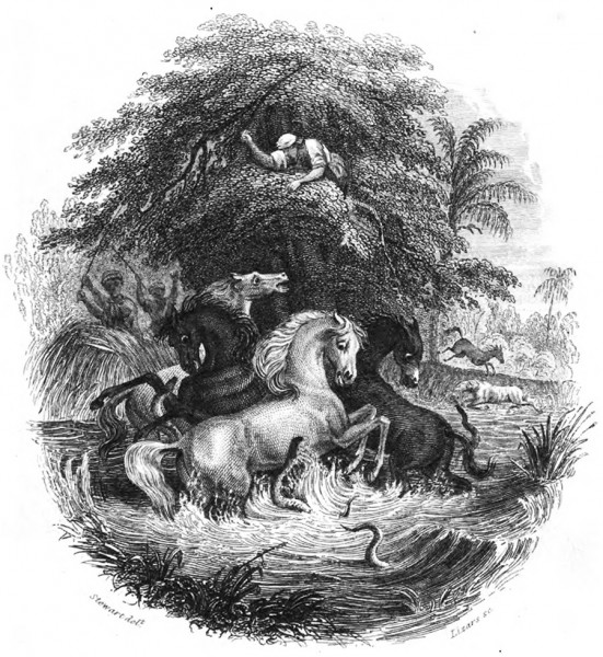Historic illustration of Alexander von Humboldt's story of the battle between the horses and electric eels.