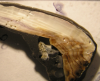 pfister-mussel-shell-slice-close-up.png