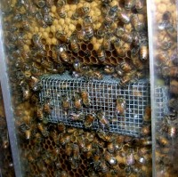 Newswise: Honeybee Circadian Rhythms Are Affected More by Social Interactions