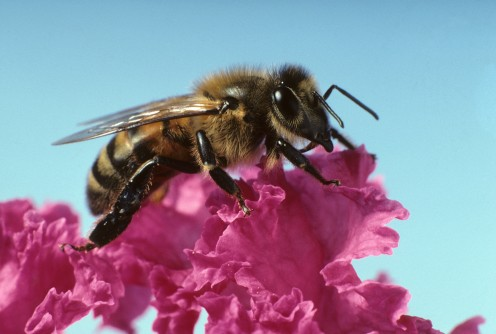 Newswise: Pesticides Used to Help Bees May Actually Harm Them