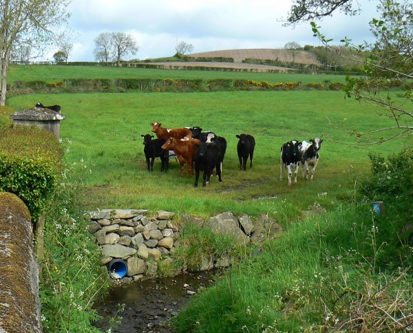 A small pipe discharges water from fields into streams, carrying with it the legacy of agricultural activities—manure, fertilizer and silage nutrients. Decades of reform have improved the quality of runoff reaching streams.