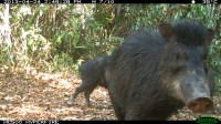 Newswise: Peccaries of Mesoamerica Now Highly Threatened, Warn Experts