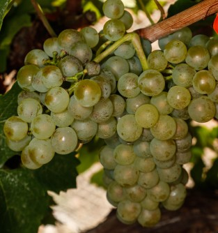 Newswise: Winegrape Powdery Mildew App Goes Global