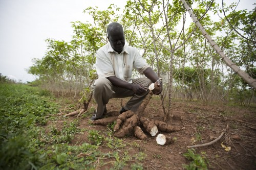 Newswise: International Collaboration Receives Grant to Advance Improvements in Cassava Harvests and Nutrition for Smallholder Families in Sub-Saharan Africa