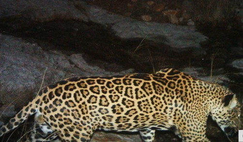 Newswise: WCS Spearheads Conservation Science For U.S. Jaguar Recovery Plan