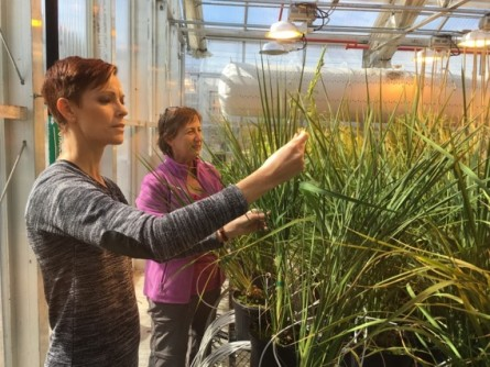 Oak Ridge National Laboratory researchers Sara Jawdy (left) and Lee Gunter evaluate the growth of rice plants carrying a genetic mechanism that reduces lignin and increases flavonoids.