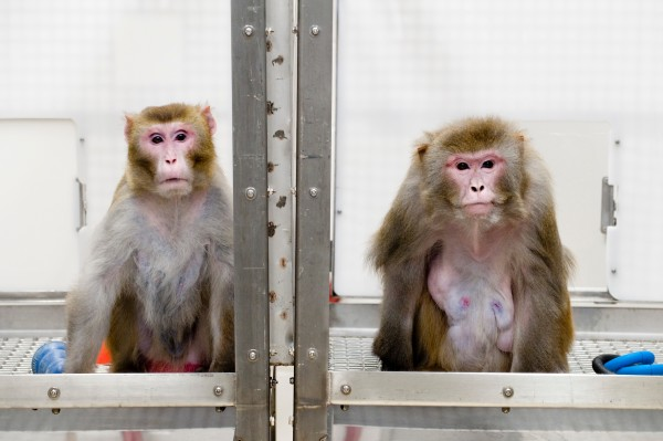 A 2009 image of rhesus monkeys in a landmark study of the benefits of caloric restriction. The then 27-year-old monkey on the left was given a diet with fewer calories while the then 29-year-old monkey on the right was allowed to eat as much as it liked. Both animals have since died of natural causes. A new study of the effects of a restricted diet reinforces the idea that reducing caloric intake has health benefits that can extend lifespan.