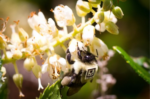 Newswise: Neonicotinoid Pesticide Affects Foraging and Social Interaction in Bumblebees