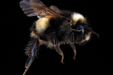 Newswise: UNH Research Finds White Mountain National Forest Home to Nearly 140 Species of Bees