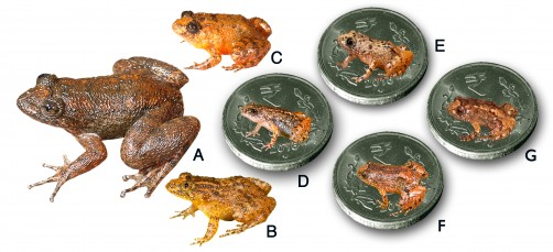 Newswise: Seven New Species of Night Frogs From the Western Ghats Biodiversity Hotspot Including Four Miniature Forms