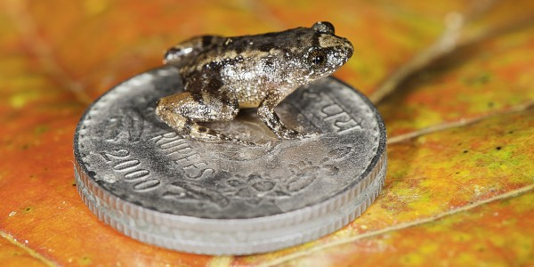 The 12.2 mm long Robinmoore's Night Frog (Nyctibatrachus robinmoorei) sitting on the Indian five-rupee coin (24 mm diameter) is one of the new species discovered from the Western Ghats mountain ranges in Peninsular India.