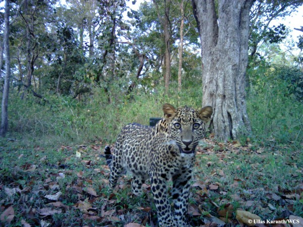 A new study says despite direct competition, tigers, leopards, and dholes are living side by side in protected areas