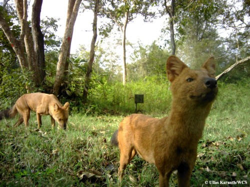 Newswise: India's Big Cats and Wild Dogs Get Along Really Well
