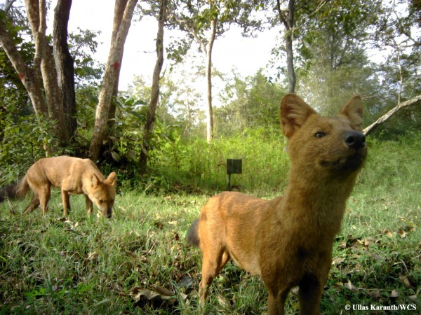 A new WCS study in India shows that three carnivores – tigers, leopards, and dholes (Asian wild dog) – seemingly in direct competition with one other, are living side by side with surprisingly little conflict.