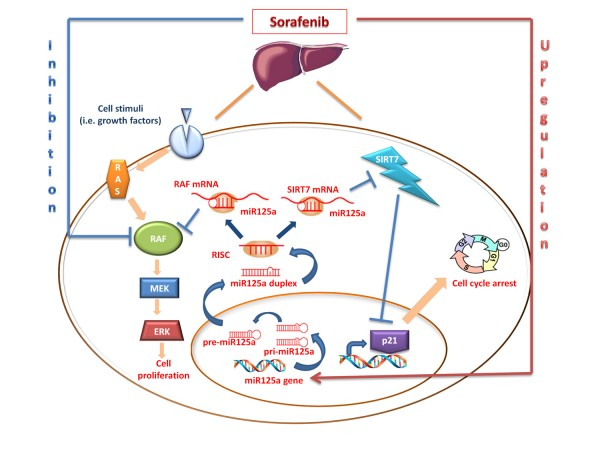 <b>MicroRNA-125a-5p is a downstream effector of sorafenib in its antiproliferative activity toward human hepatocellular carcinoma cells.</b><br><br>Sorafenib is a multikinase inhibitor with specific activity against Raf kinase and several receptor tyrosine kinases. The addition of sorafenib to hepatocellular carcinoma cells increased cellular expression of miR-125a.  Upregulation of this miRNA inhibited cell proliferation and induced cell cycle arrest by targeting c-Raf, part of the ERK pathway that is involved in cell proliferation and sirtuin-7, (SIRT-7) a NAD(+)-dependent deacetylase that inhibits  transcriptional  activation  of the cell cycle inhibitor p21. Therefore, sorafenib inhibits Raf activity and upregulates miR125 that, in turn, targets c-Raf and SIRT7; this  dual  inhibition  of  Raf activity and expression together with p21-dependent cycle arrest coherently combine to explain the antiproliferative activity of the drug.