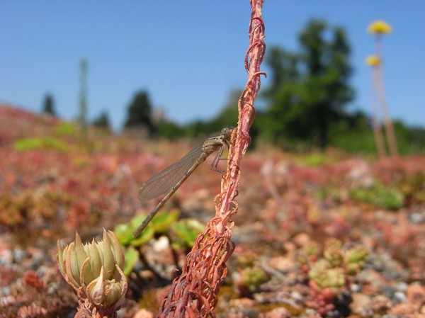 A damselfly on a green roof in the grounds of Royal Holloway, University of London