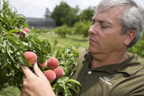 Newswise: Florida Peaches Pack a Punch as a Succulent Snack