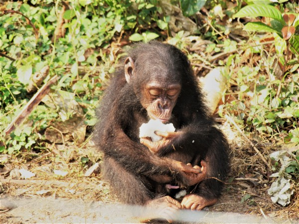 Brain size in primates is predicted by diet, an analysis by a team of NYU anthropologists indicates. Above, a chimpanzee eating fruit.