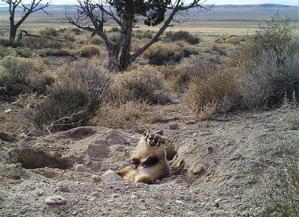 Camera trap images of an American badger burying a calf carcass by itself in Utah's Grassy Mountains, January 2016.