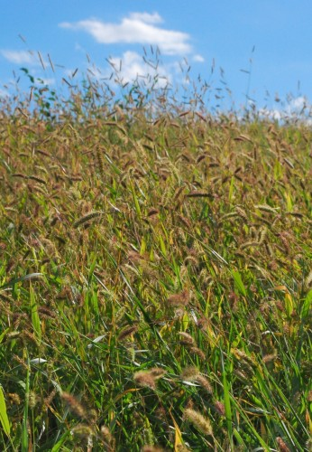 Newswise: Danforth Center Scientists Discover Gene that Influences Grain Yield