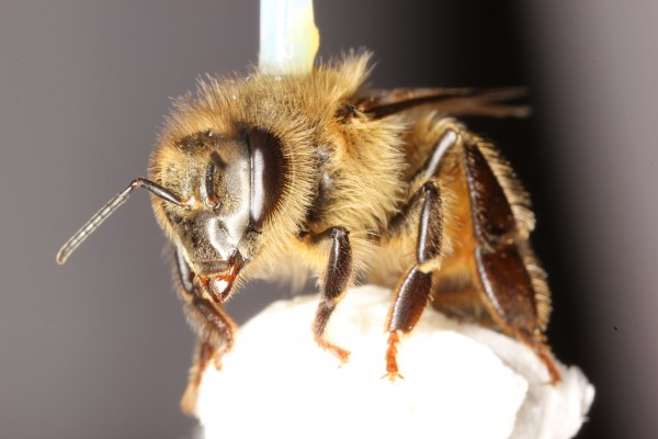 A honey bee (Apis mellifera) is harnessed for study on a flight mill in biology professor James Nieh's laboratory, UC San Diego.