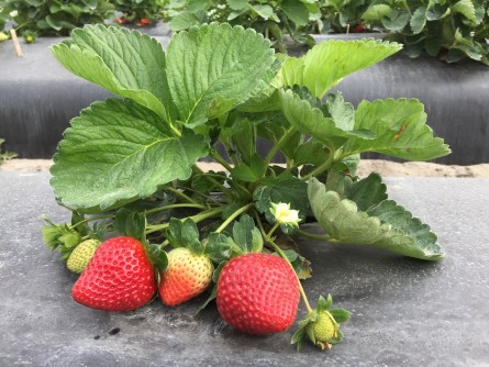 Newswise: Time to Celebrate a Year-Round, Healthy Snack – the Strawberry