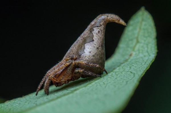 New spider, Eriovixia gryffindori, named for the Sorting Hat in the Harry Potter series