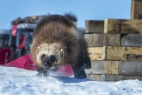Newswise: Are Wolverines in the Arctic in the Climate Change Crosshairs?