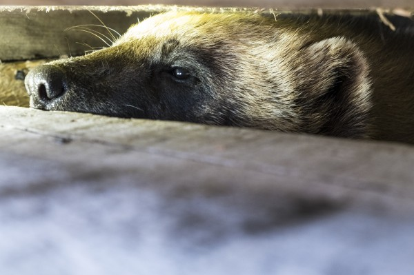 A wolverine peers out from a live trap awaiting a GPS collar to be affixed by WCS staff.