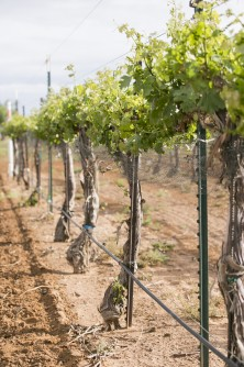 Newswise: Viticulture Program at Texas Tech Plays Vital Role in Wine Industry Growth