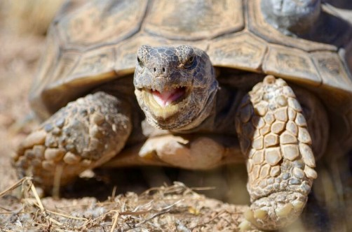 Newswise: Decoded Genome May Help Tortoise Win Race to Survive