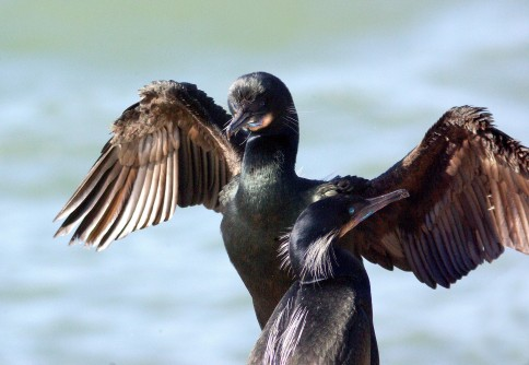 Newswise: How the Galapagos Cormorant Lost Its Ability to Fly