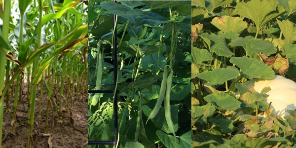 In the three sisters companion planting, each plant provides a service. Corn provides a strong structure for beans. Beans provide nitrogen to corn and squash. Squash's leaves provide shade to the soil, and their rough edges deter pests.