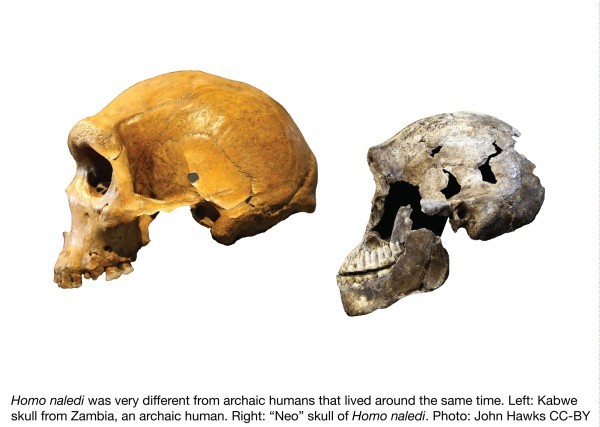 Homo naledi was very different from archaic humans that lived around the same time. Left: Kabwe skull from Zambia, an archaic human. Right: