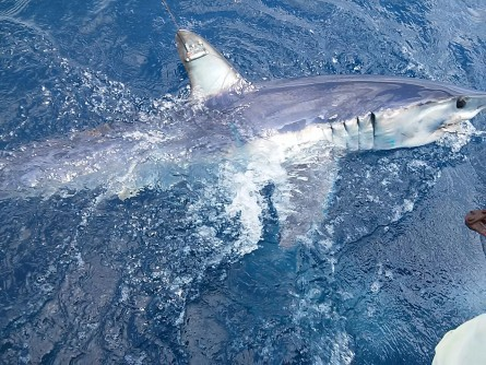 Newswise: Chasing the Fastest Shark in the World is No Easy Task