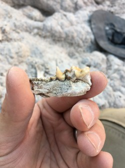 Newswise: Ancient Otter Tooth Found in Mexico Suggests Mammals Migrated Across America