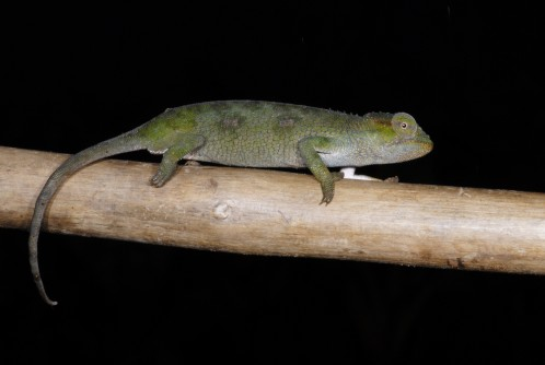 Newswise: UTEP Doctoral Student Discovers Three Chameleon Species