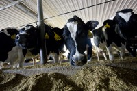 Newswise: UF Researchers Try to Make Sure Dairy Farmers Produce the Best