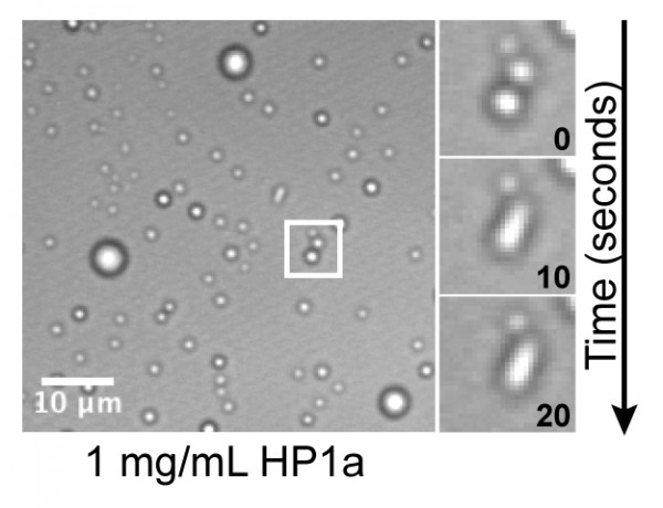 Shown is purified heterochromatin protein 1a forming liquid droplets in an aqueous solution. On the right side, two drops fuse together over time.