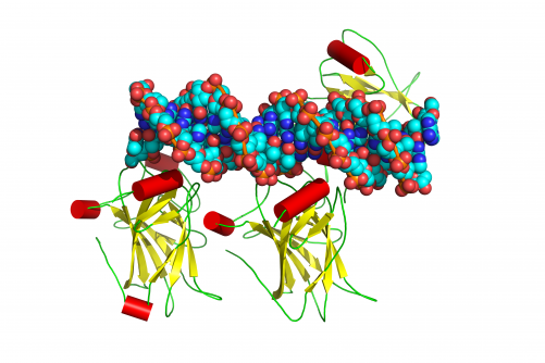 The structure of the tumor suppressor protein p53 bound to DNA. Scientists believe p53 is involved in more than half of human cancers